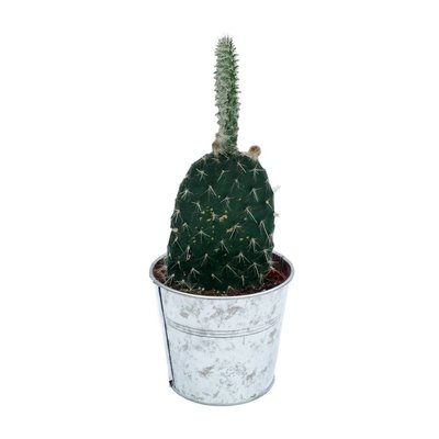 Cactus in sinking bucket by Type