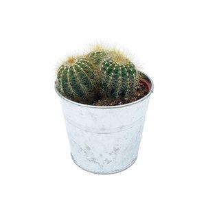Cactus in zinken emmertje op soort