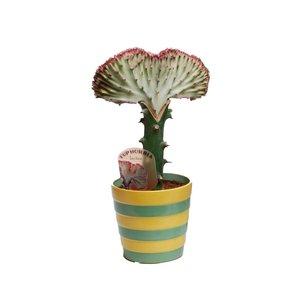Euphorbia bord rouge lactea « Cristata »