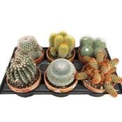 Cactus Kaktus gemischt von 6 zum Verkauf