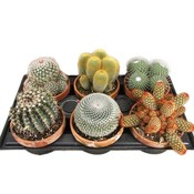 Cactus mixed in terra cotta pot: only per 6 for sale