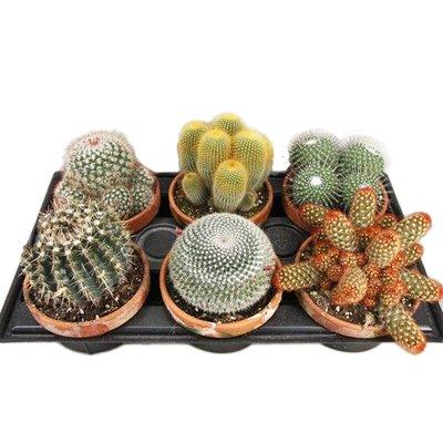 Cactus mixed in terra cotta pot