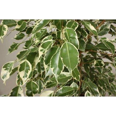 Ficus Benjamina Twilight® auf Rack