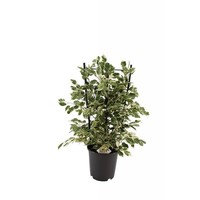 Ficus Benjamina Twilight® auf Rack