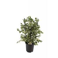 Ficus Benjamina Twilight® on rack