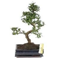 Bonsai Carmona Schüssel 30cm