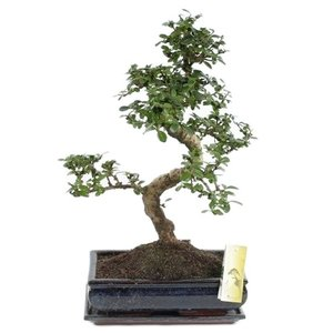 Bonsai Carmona with dish 30 cm