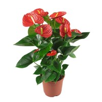 Anthurium Red Gewinner