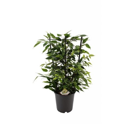 Ficus Benjamina Anastasia on rack