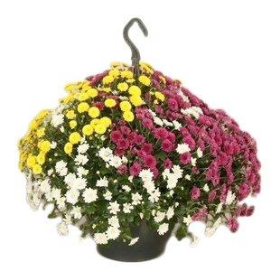 Chrysanthemum Chrysanthemen skyfall 'Tricolor