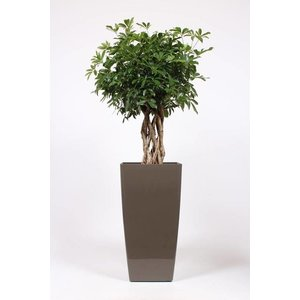 Schefflera compacta braid stem, ornamental pot + water meter