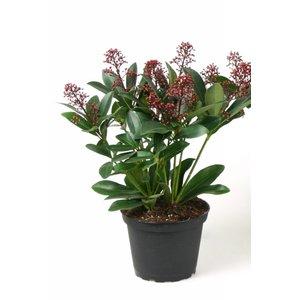 """Skimmia Japonica """"Rubella"""" 8 fleurs"""
