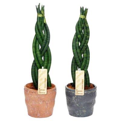 Sansevieria Cylindrica Twist in Durban ceramics