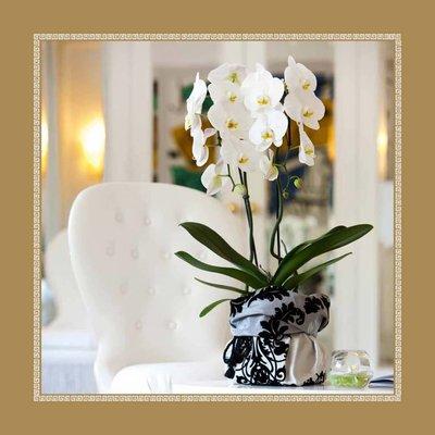 "Phalaenopsis Grandiflora 'Tsarine""Cascade 18 + Topf weiß"