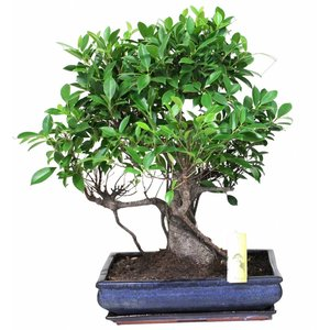 Bonsai Ficus, extra kwaliteit