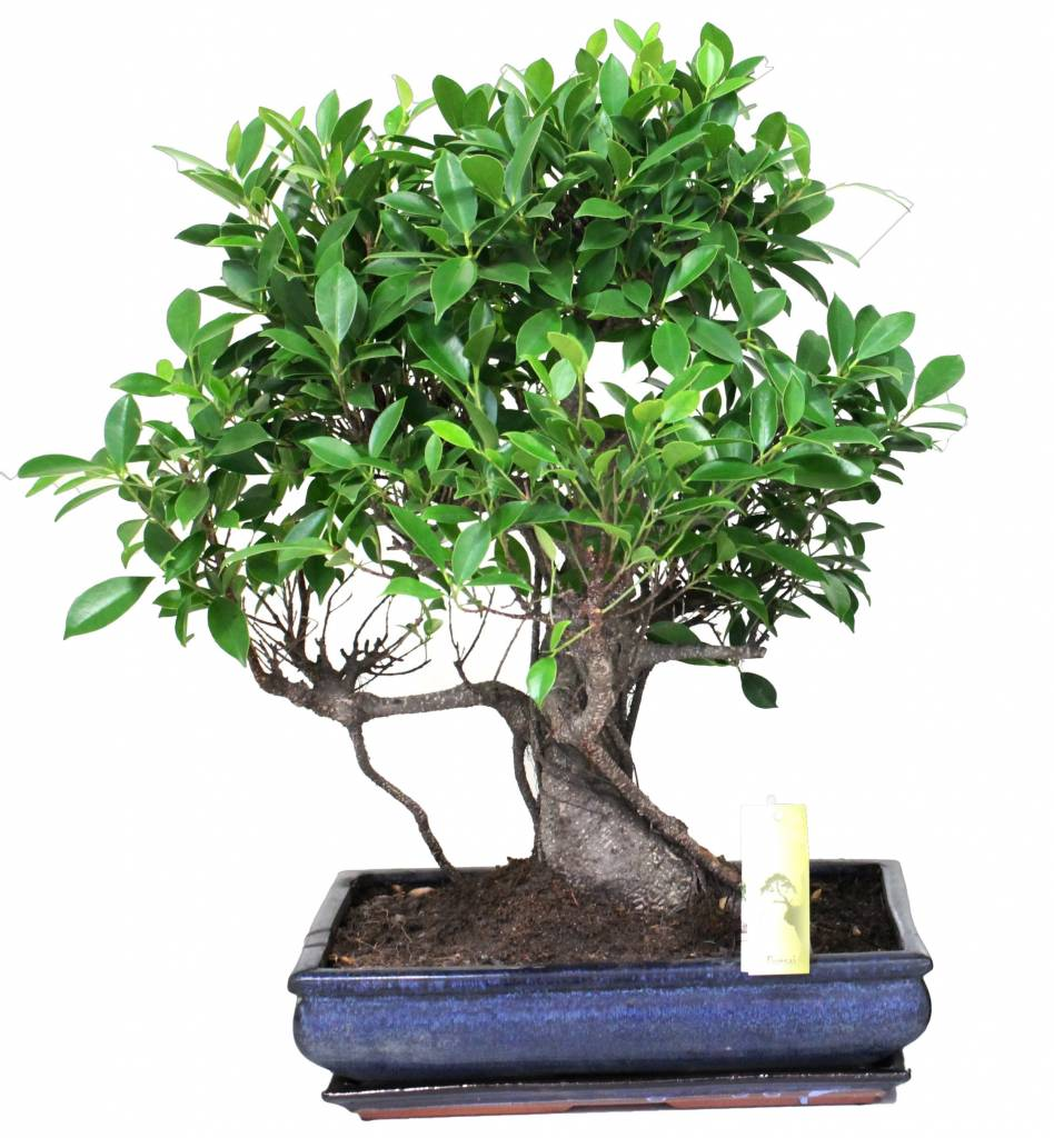 bonsai ficus f r die enthusiasten florastore. Black Bedroom Furniture Sets. Home Design Ideas