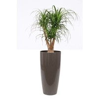 Beaucarnea Nolina Branched pot + water meter