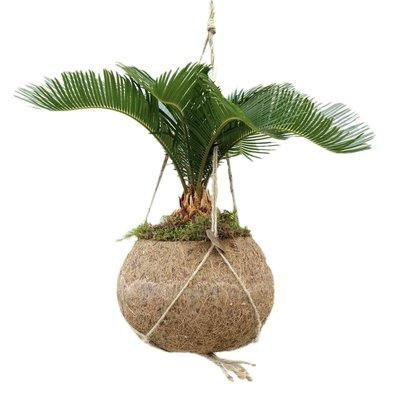 Kokodama Kokodama Cycas Revoluta