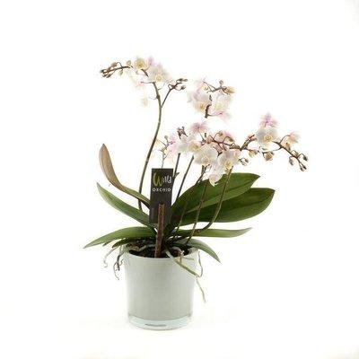 Phalaenopsis 4 Zweig Willd weiß rosa in weißen Blumentopf