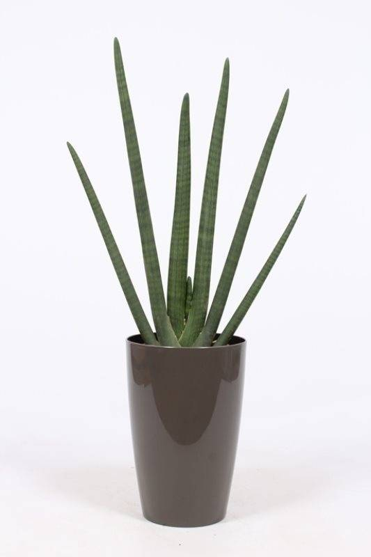 sansevieria cylindrica pot water meter m florastore. Black Bedroom Furniture Sets. Home Design Ideas