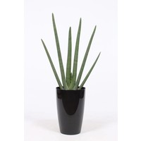 Sansevieria Cylindrica, pot water meter
