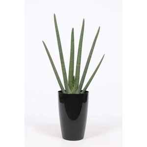 Sansevieria Cylindrica, pot water meter M