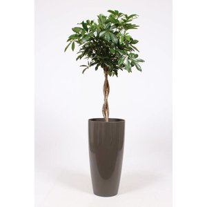 Schefflera compacta on stem, ornamental pot + water meter