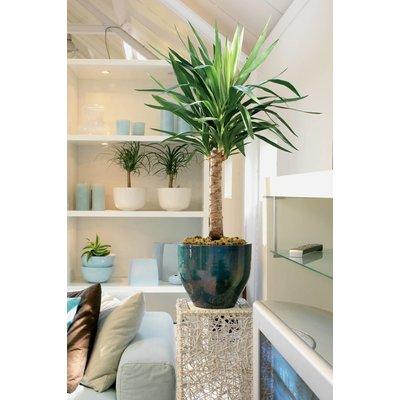 Yucca verzweigten, ornamental Topf Wasseruhr + L
