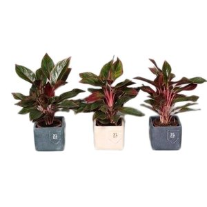 Aglaonema Crete in jeans pot