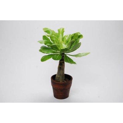 Brighamia Insignis (Palm Hawaii) floraison en céramique