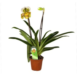 Paphiopedilum US Hybrid second branch