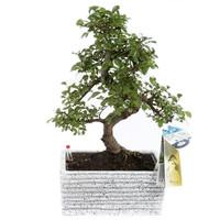 Bonsai Zelkova S vorm 22 cm Easy care Graniet