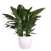Spathiphyllum Sweet Silvio in white ceramic