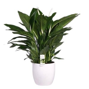 Spathiphyllum Doux Silvio Bâle 26 cm
