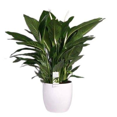 Spathiphyllum Süße Silvio aus weißer Keramik