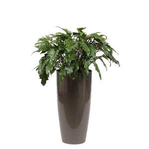 Philodendron Xanadu, Ziertopf + Wasserzähler L