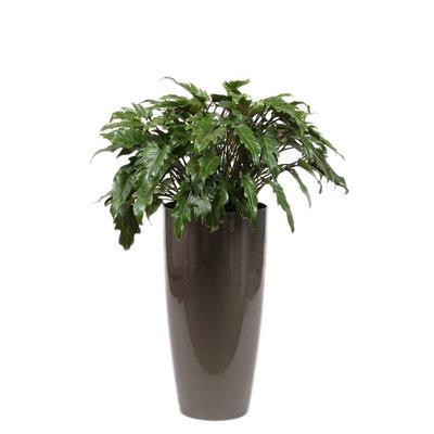 Philodendron Xanadu, Substrat + Wasserzähler