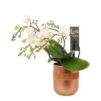 Phalaenopsis Willd weiß in 9 cm in limitierter Auflage