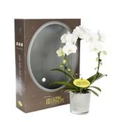 Phalaenopsis Mirror miracle white in gift box