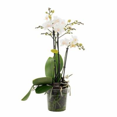 Phalaenopsis Venis dritten Zweig