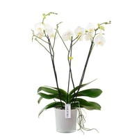 Phalaenopsis 3 branches theatro de branche dans styleglas