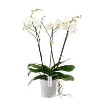 Phalaenopsis 3 Zweig theatro Zweige in styleglas