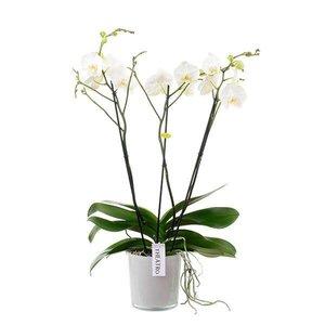 Phalaenopsis 3 tak theatro vertakt in styleglas