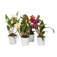 Orchideeën Kleinblütiges cattleya ersten Zweig