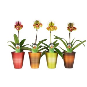 Paphiopedilum US hybrid season jar first branch