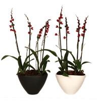 Bijzondere Orchideeën Howeara Lava vierte Niederlassung in Keramik Burst