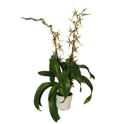 Bijzondere Orchideeën Brassia Tessa zweiten Zweig