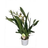 Bijzondere Orchideeën Brassia ewigen Wind zweiten Zweig