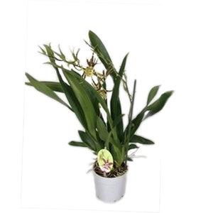 Orchideeën Brassia ewigen Wind zweiten Zweig