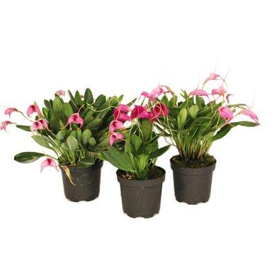 Bijzondere Orchideeën Masdevallia